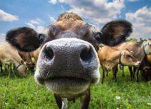 Чья бы корова мычала…